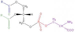 Phosphatidyl-Serine