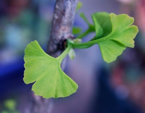 gingko coming back to life