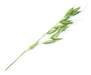 Green oat isolated on white background.