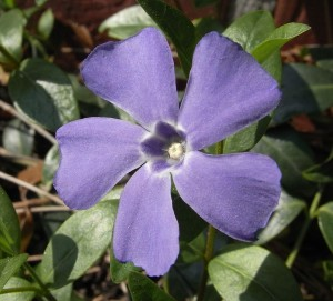 Vinpocetine is synthesized from Vinca minor plant, commonly known as Periwinkle. By Vulkano <h2><span class=