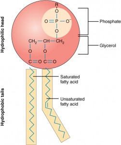 0301_Phospholipid_Structure