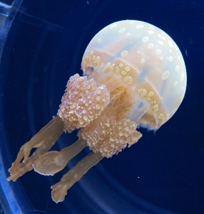 Apoaequorin is the only nootropic known that is sourced from jellyfish. Image by Oilstreet (Own work) [GFDL, CC-BY-SA-3.0 or CC BY 2.5], via Wikimedia Commons