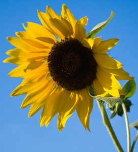 "Sunflowers are the new ""soy-free"" source of PS. By Jason Pratt (FishSpeaker) (self-made; also on Flickr as Sunflower) [CC BY 2.0], via Wikimedia Commons"