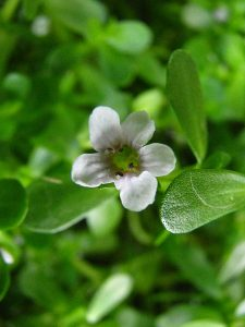 By David Eickhoff from Pearl City, Hawaii, USA (Bacopa monnieriUploaded by Tim1357) [CC BY 2.0], via Wikimedia Commons