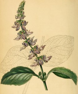 Coleus forskohlii illustration circa 1841. By Internet Archive Book Images [No restrictions], via Wikimedia Commons