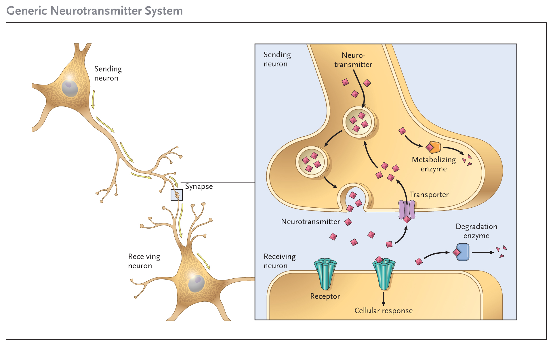 What Are Neurotransmitters – And How Can I Make Mine Better ...