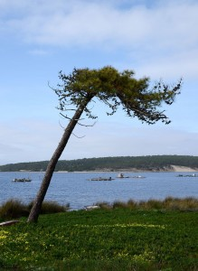 Maritime Pine tree. By Alvesgaspar (Own work) [CC BY-SA 4.0], via Wikimedia Commons