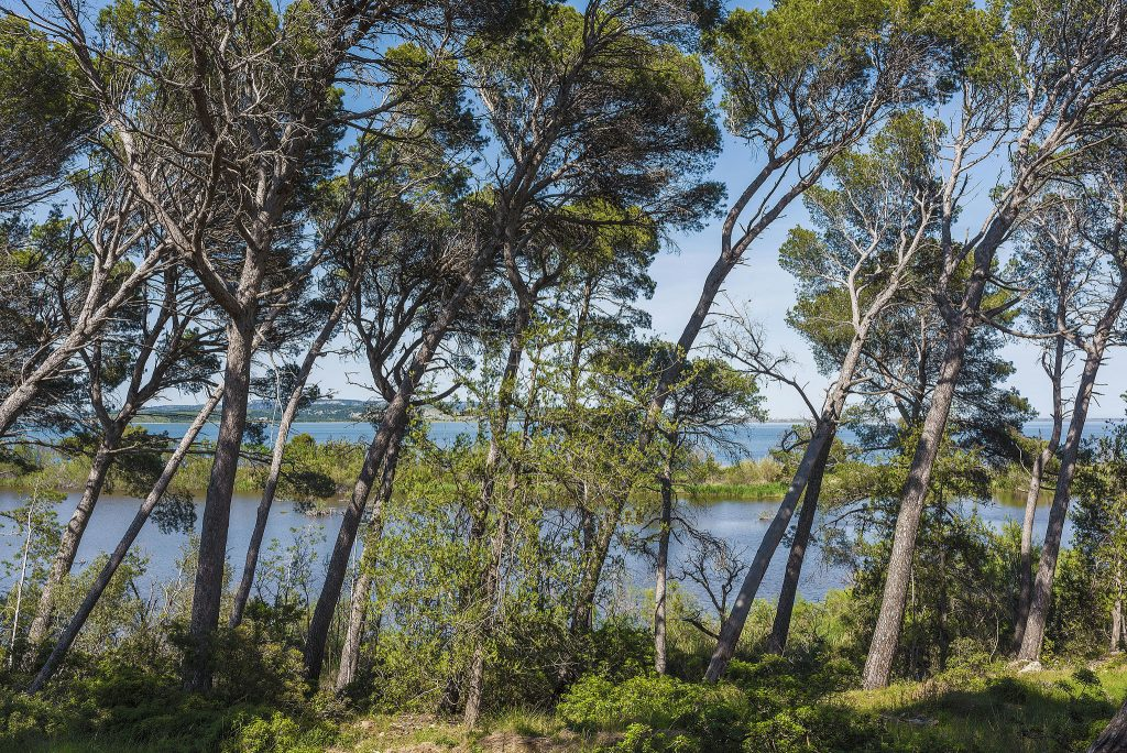 Coastal pine trees, like the windswept examples shown here, are believed to develop bark with stronger antioxidant activity, to better cope with their harsh, salty environment. By Christian Ferrer (Own work) [CC BY-SA 3.0], via Wikimedia Commons