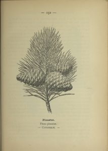 Pinus pinaster, or French Pine Bark, the source of Pycnogenol