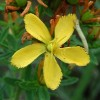 St. John's Wort for Sleep