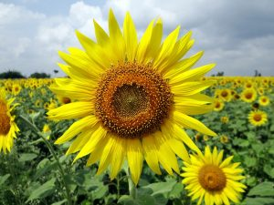 Sunflower-derived PS is the new popular alternative to soy-derived PS.
