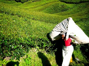 Green tea field in the Malaysia... That's a LOT of L-Theanine.