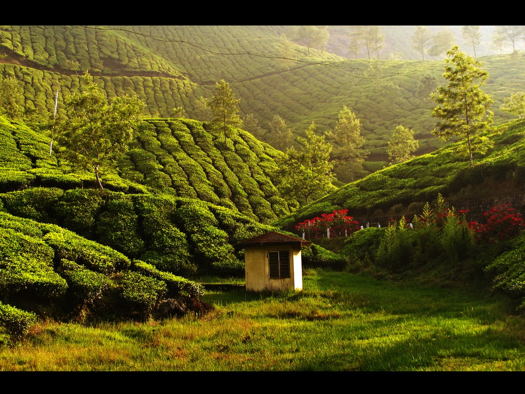 A tea estate in Munnar, India. Image by Manu N G licensed under CC by 2.0
