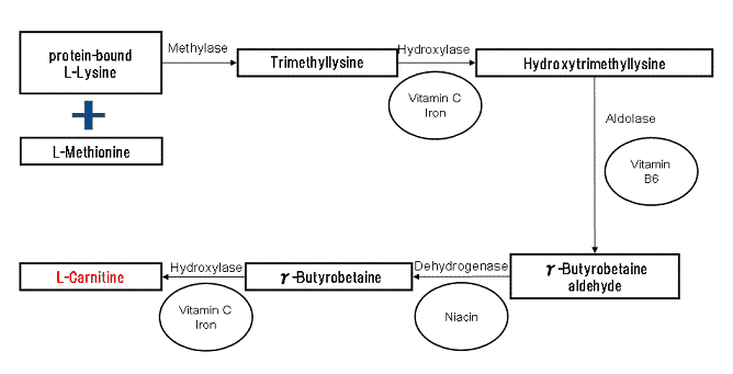 This chart illustrates carnitine biosynthesis, including cofactors like Vitamin C and Vitamin B6. By matsan5 (my own one) [Public domain], via Wikimedia Commons