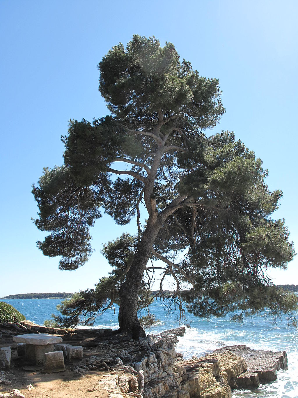 The research that follows is all on the branded & patented pine bark extract called Pycnogenol, which is derived from French Maritime pine trees, like this one. By Tangopaso (Own work) [Public domain], via Wikimedia Commons