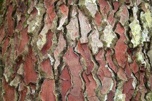 Pinus_pinaster_bark