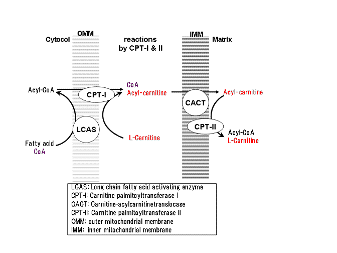 mitochondrial structure and function pdf