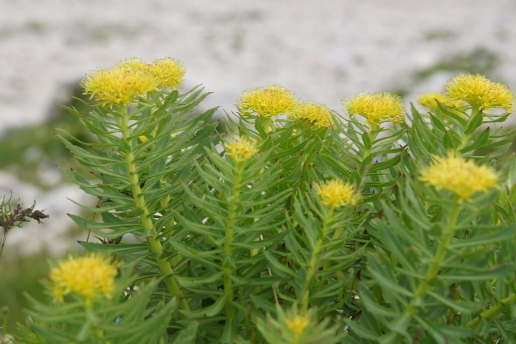 Rhodiola is an example of a nootropic that is both herbal and adaptogen in nature. By Benjamin Zwittnig [CC BY 2.5 si], via Wikimedia Commons