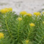 Rhodiola Rosea for Energy