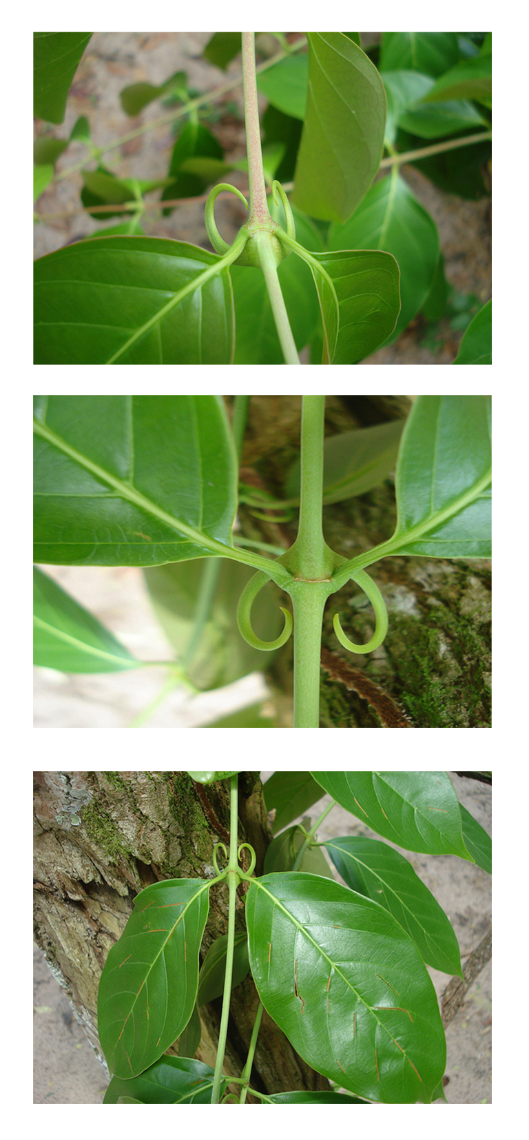 "Uncaria climbing vine. Middle image shows the ""claws"" of Cat's Claw. By Vangeliq.petrova (петрова) [GFDL or CC BY-SA 4.0-3.0-2.5-2.0-1.0], via Wikimedia Commons"