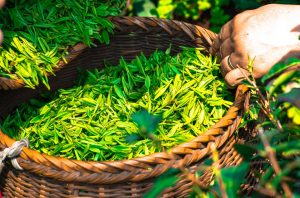 Basket full of L-Theanine, Caffeine, & other green nootropic compounds.