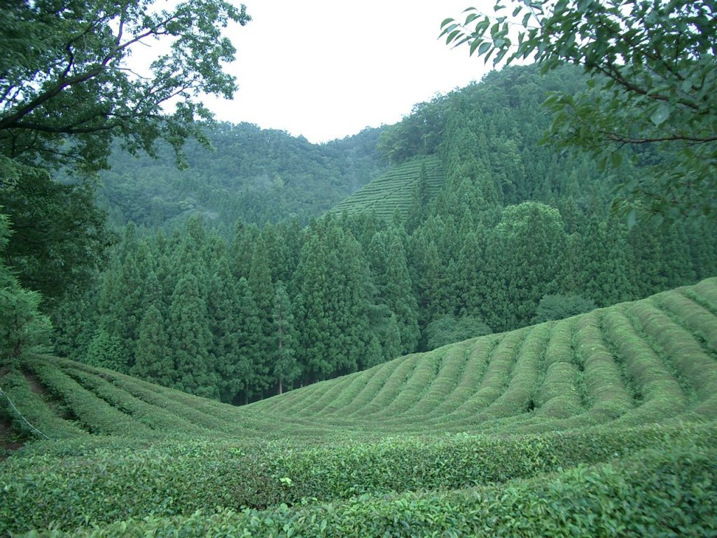 Green tea, shown growing on a farm in Korea, is a rich natural source of L-Theanine. By by Fred Ojardias (http://flickr.com/photos/fredcoree/279595783/) [CC BY 2.0], via Wikimedia Commons
