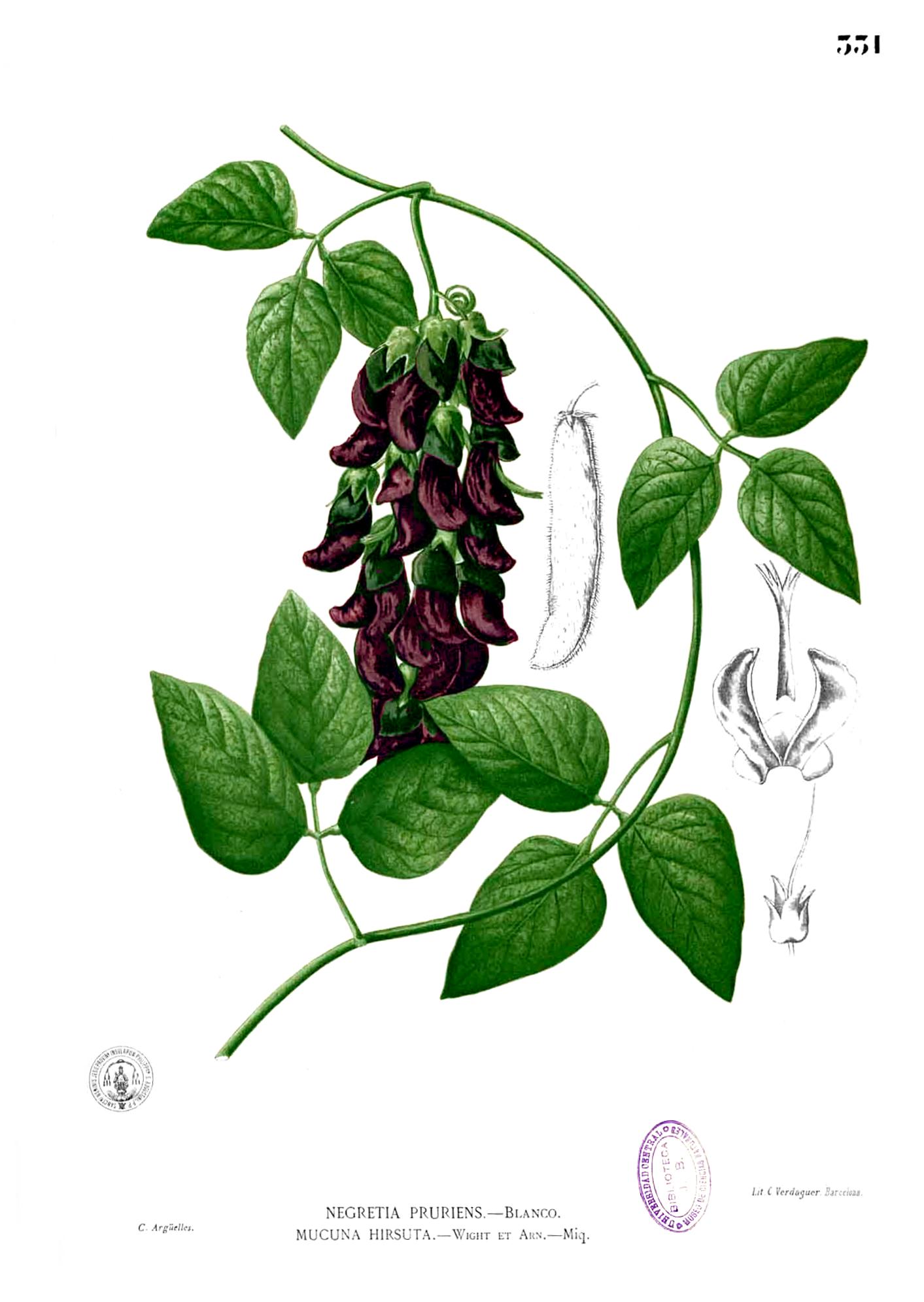 Illustration of velvet bean, Circa 1880-1883. By Francisco Manuel Blanco (O.S.A.) [Public domain], via Wikimedia Commons