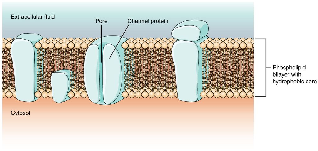 This image shows the permeability of cell membranes, which enables cells to take in and expel materials. Inositol contirbutes to this exchange. By OpenStax [CC BY 4.0], via Wikimedia Commons