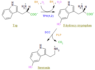 5-HTP 's place within serotonin synthesis. By Borislav Mitev (English Wikipedia) [Public domain], via Wikimedia Commons