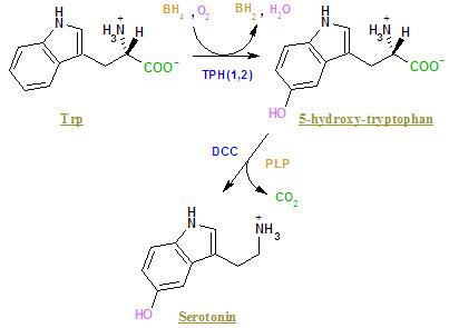 5-HTP 's place within serotonin synthesis. By Borislav Mitev (English Wikipedia) [Public domain], via Wikimedia Commons