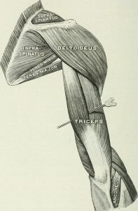 T is the primary androgen for skeletal muscle tissue. By Internet Archive Book Images [No restrictions], via Wikimedia Commons