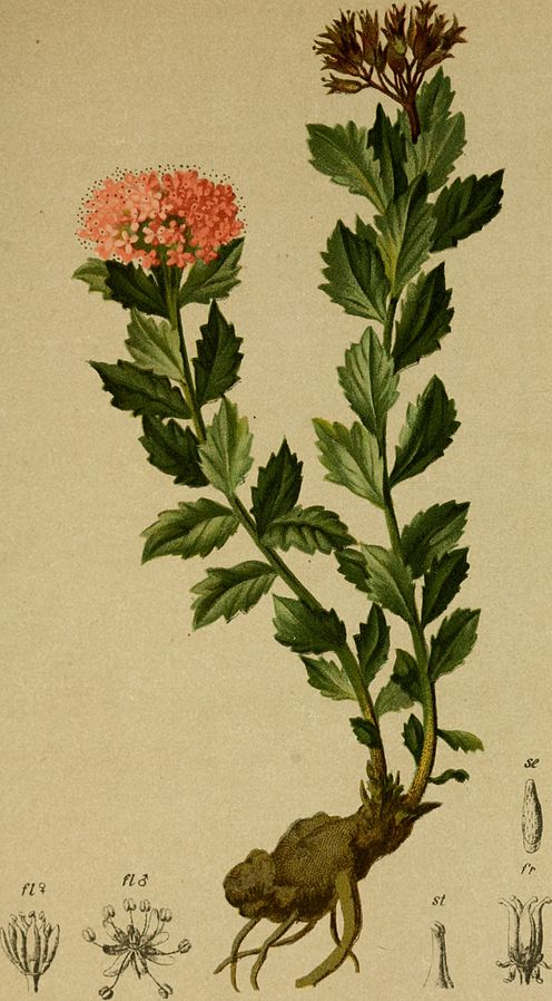 Atlas der Alpenflora (1882) By Internet Archive Book Images [No restrictions], via Wikimedia Commons