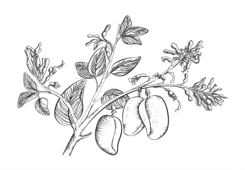Griffonia simplicifolia, with seed-pods, illustrated.