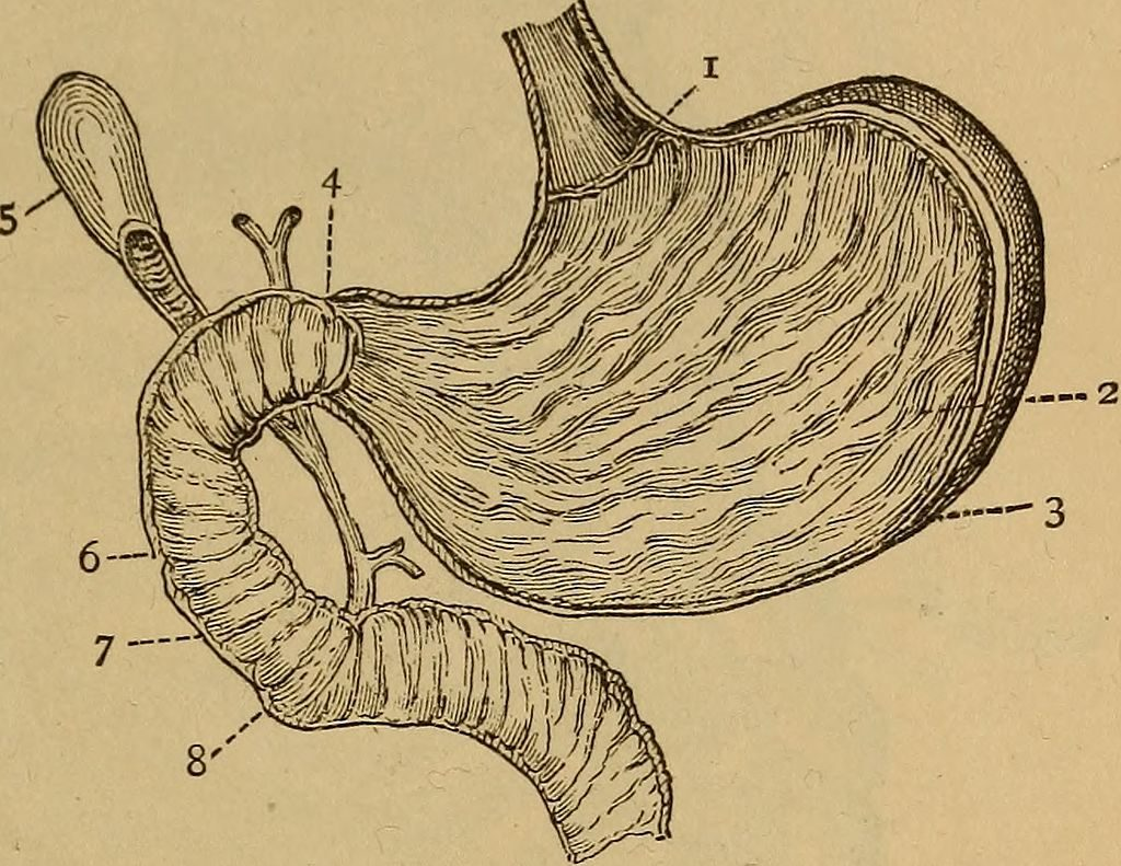 L-Glutamine is sometimes used to nourish and support the lining of the digestive tract. By Internet Archive Book Images [No restrictions], via Wikimedia Commons