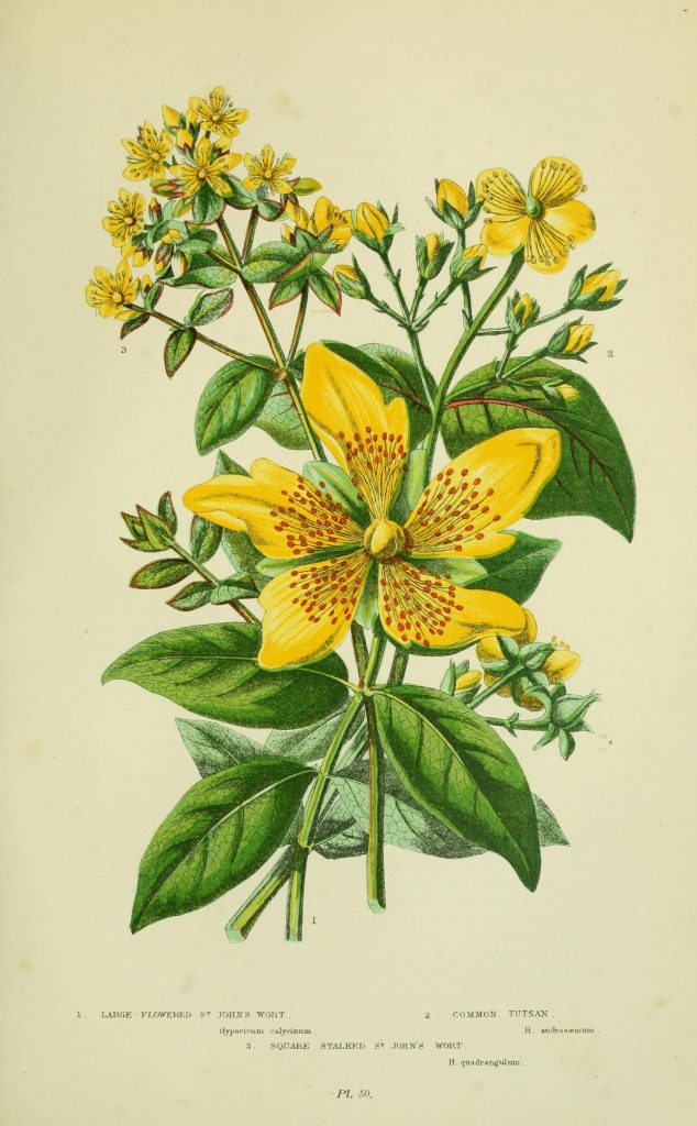 Early British illustration of St. John's Wort, circa 1905. By Pratt, Anne; Step, Edward [CC BY 2.0 or Public domain], via Wikimedia Commons