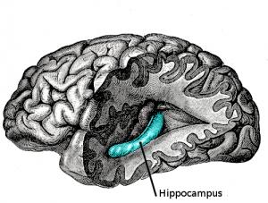 hippocampus location brain