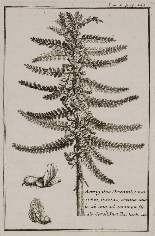 Astragalus Oriental