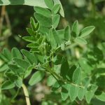 Astragalus as a Pre-Workout