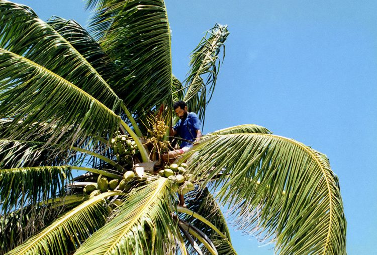 A man harvests coconuts in Belize: By anoldent [CC BY-SA 2.0], via Wikimedia Commons