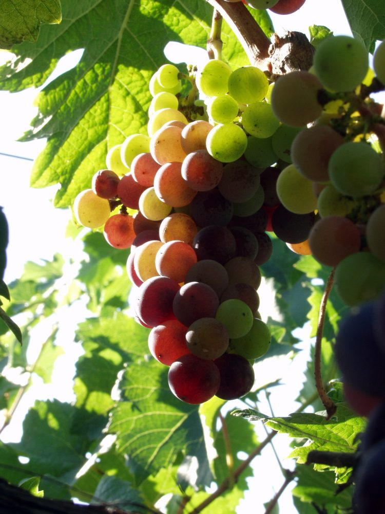 Resveratrol as a nootropic supplements in review - Table grapes vs wine grapes ...