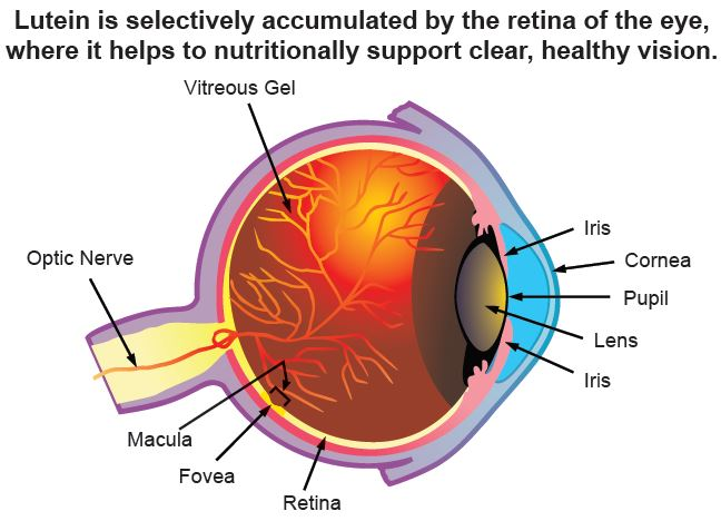 Lutein (and zeaxanthin) are concentrated in the retina's macula and fovea – making it appear customized for fighting the free radicals & blue-light wavelengths that damage the eye's photoreceptor cells. Lutein is also naturally present in the eye's lens.