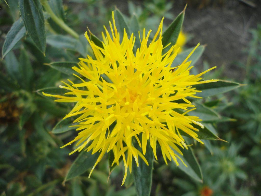 safflower CLA human made source