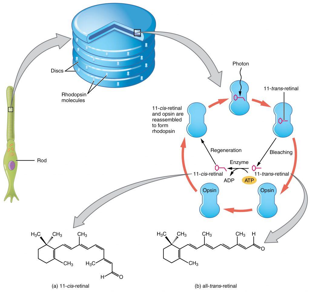 Rhodopsin regeneration. By OpenStax College [CC BY 3.0], via Wikimedia Commons