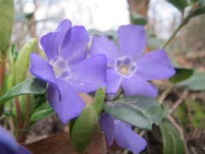 Vinca minor plant. By AnRo0002 (Own work) [CC0], via Wikimedia Commons