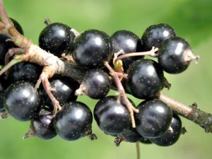 Black currant. By Paolo Neo [Public domain], via Wikimedia Commons
