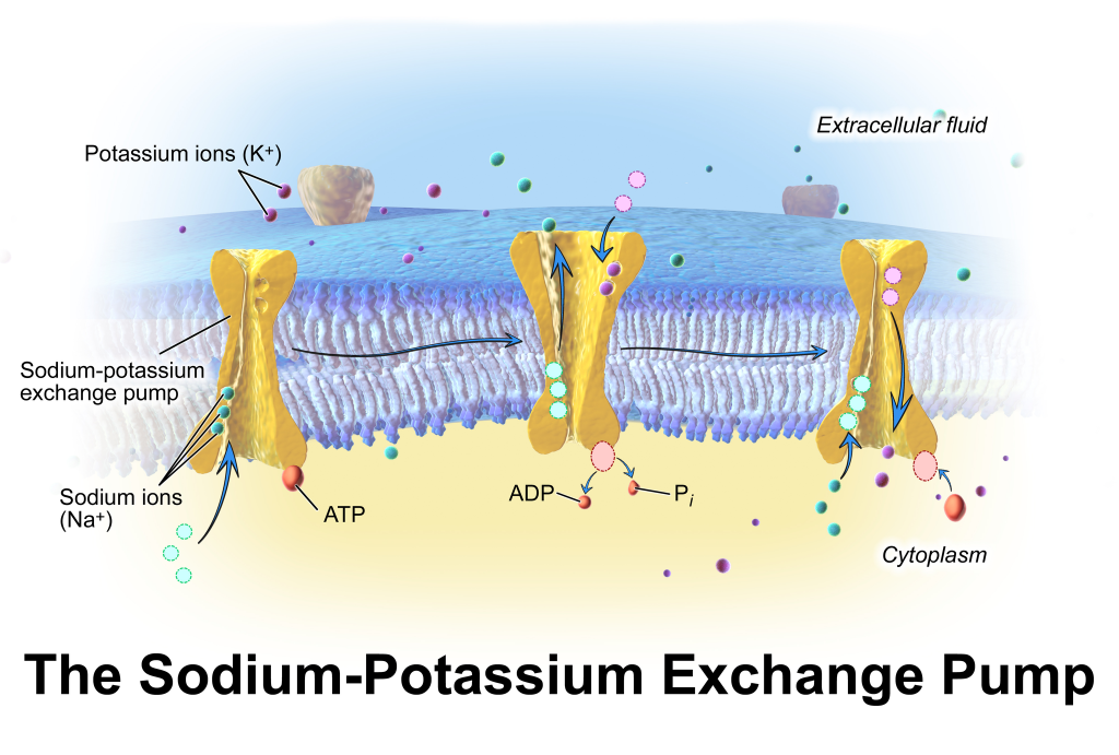 "Sodium-potassium exchange across cell membrane. By BruceBlaus. When using this image in external sources it can be cited as:Blausen.com staff. ""Blausen gallery 2014"". Wikiversity Journal of Medicine. DOI:10.15347/wjm/2014.010. ISSN 20018762. (Own work) [CC BY 3.0], via Wikimedia Commons"