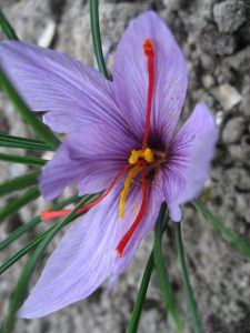 Crocus Sativus. By Liné1 (Picture taken with my IXUS 800 IS) [GFDL or CC BY-SA 3.0], via Wikimedia Commons