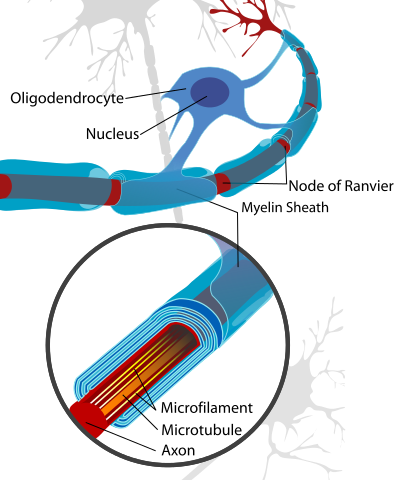 Neuron_with_oligodendrocyte_and_myelin_sheath