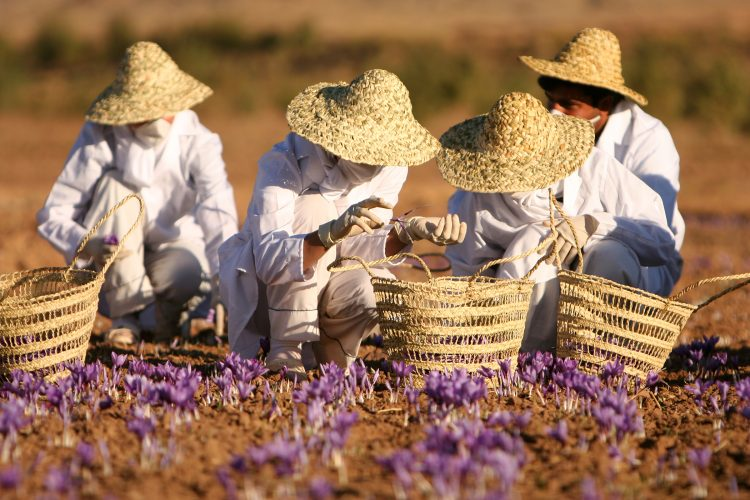 Saffrom farming. By Safa.daneshvar (Own work) [CC BY-SA 3.0], via Wikimedia Commons