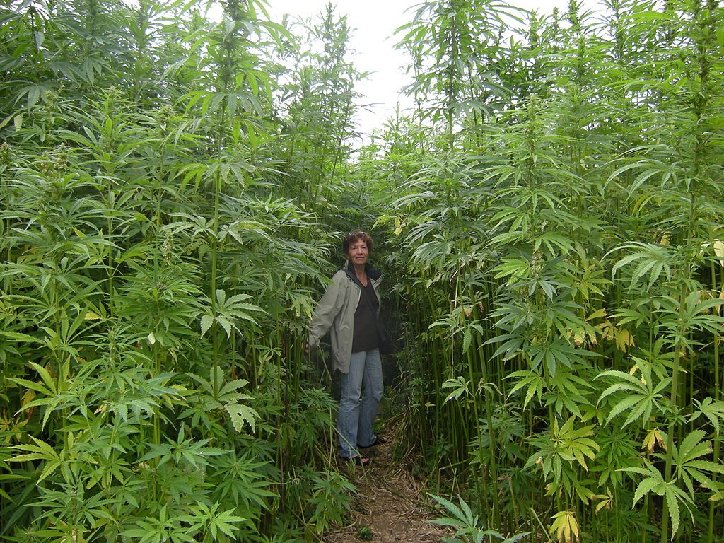 French hemp field.